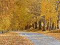 Tree lined driveway with autumn leaf fall and golden colors Stock Photo