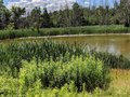 Cattails on a Murky Pond Royalty Free Stock Photo