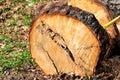 A tree log ready for cutting. Pine log, cut to measure radiata pines log ready to take away. Royalty Free Stock Photo