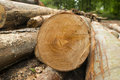 Tree logs numerous chopped in the forest Stock Photo