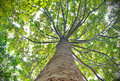 Tree looking up view Royalty Free Stock Photo