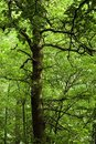 Tree in lush green forest Royalty Free Stock Images
