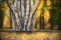 Tree with many trunks in autumn forest nature background Stock Images