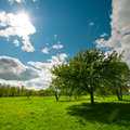 Tree on meadow with bright sun Stock Photography