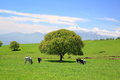 Tree on a meadow and cow Royalty Free Stock Photo