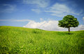 Tree on meadow isolated with green leaves an open blooming and beautiful colorful sky in the back Royalty Free Stock Photography