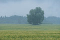 Tree in the middle of the wheat field. Rain and fruitage, forest in background. Organic crop. Royalty Free Stock Photo