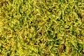 Tree moss Royalty Free Stock Photo