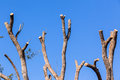 Tree Bare Branches Blue Royalty Free Stock Photo