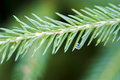 Coniferous, fir-needle and drop, macro Royalty Free Stock Photo