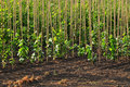 Tree nursery farm Royalty Free Stock Photo