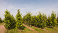 Tree nursery with oak trees young growing in a Royalty Free Stock Photo