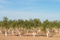 Tree nursery with rows of young olive trees Stock Image
