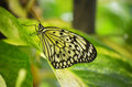 Tree Nymph Butterfly Amongst a bunch of Foliage Royalty Free Stock Photo