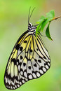 Tree Nymph Butterfly On Blurred Background Stock Photos