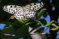 Tree nymph butterfly idea leuconoe close up of large this is also known as the paper kite or rice paper Stock Image