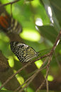 Tree Nymph Butterfly Sitting on a Tree Branch Royalty Free Stock Photo