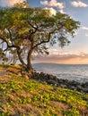 Tree by ocean in Hawaiian sunset Royalty Free Stock Photo