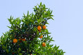 Tree of orange on a blue sky background Royalty Free Stock Image