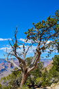 A tree overlooking the Grand Canyon National Park in Arizona, USA Royalty Free Stock Photo