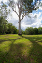 Tree in park beautiful tall eucalyptus standing a with shadow on the grassy foreground and sun shining through its branches Royalty Free Stock Photo