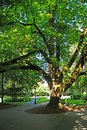 Tree in a Park Pathway Royalty Free Stock Photos