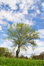 Tree in park single on beautiful spring day Royalty Free Stock Image