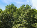 Tree in a park trees over blue sky Royalty Free Stock Photo
