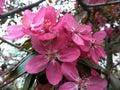 Tree pink purple flower