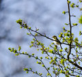 Tree pipit a sitting in a treetop chirping Stock Photo