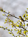 Tree pipit a sitting in a treetop with leaves and buds hiding and chirping Stock Images