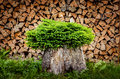 Tree planted in a pot from trunk with firewood background detail of Royalty Free Stock Photography