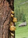 Tree with polyporus Stock Photo