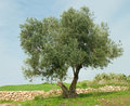 Tree at Ramat hanadiv Royalty Free Stock Image