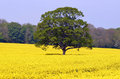 Tree in a Rape Seed Field Stock Photo