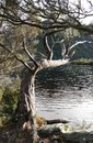 Tree reaching over lake Royalty Free Stock Photo
