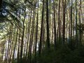 redwood forest thicket Royalty Free Stock Photo