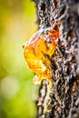 Tree resin with a nice brown color Royalty Free Stock Photo