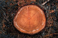 Tree rings on a cut log in a conifer forest Royalty Free Stock Photo