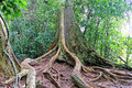 tree root buttress and tropical forest floor Royalty Free Stock Photo