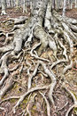 Tree roots Royalty Free Stock Image
