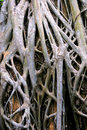 Tree roots at Angkor Royalty Free Stock Photo