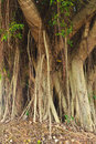 Tree roots of Banyan tree. Royalty Free Stock Photo