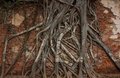 Tree roots cling on the red brick wall background for use in design and decoration Royalty Free Stock Photos