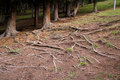 Tree roots exposed on the ground Royalty Free Stock Photo