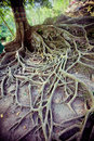 Tree roots on the ground in bali island Royalty Free Stock Photography