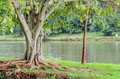 Tree with roots out of the earth in front of Lake Igapo Royalty Free Stock Photo