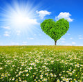 Tree in the shape of heart field marguerites with Royalty Free Stock Photography