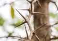 Tree with sharp thorns Royalty Free Stock Photo