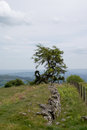 Tree on the side of a mountain windswept with stone wall in front Stock Photo